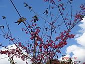 八通關古道,雲龍瀑布,烏松崙賞梅:櫻花向天