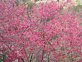 八通關古道,雲龍瀑布,烏松崙賞梅:櫻花盛開,春來了