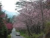 4-5  武陵的春天 --  武陵賞櫻:9802-054 武陵櫻花.JPG