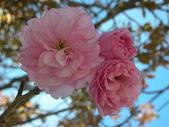 4-5  武陵的春天 --  武陵賞櫻:牡丹櫻 - 武陵 23.JPG