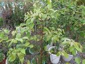 9-5  園藝技術 -- 施肥:104-0227-4  肥料試驗-八寸盆40克 (2).jpg