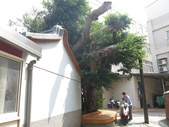 105-1102 老樹搶救--竹南萬成堂百年榕樹:105-1006  竹南萬成堂老樹 (25).jpg