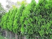 11-9 綠籬植物:扁柏綠籬 100-0714-02.jpg