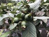 11-18 防蚊植物:芳香萬壽菊- 新豐鄉瑞興村 (6).jpg