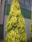 4-5  武陵的植物:香冠柏--武陵 DSCN1519.jpg