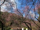 4-5 武陵的春天--武陵梅花 105-0108:2015-0108-1 武陵 (11).jpg