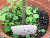 9-5  園藝技術 -- 施肥:104-0227-2  肥料試驗-八寸盆100克 (1).jpg