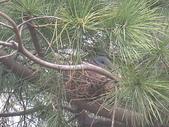 7  藍山園藝:藍山園藝的斑鳩2718