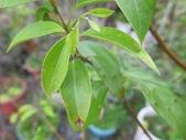 9-5  園藝技術 -- 施肥:104-0227-2  肥料試驗-八寸盆100克 (4).jpg