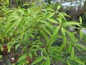 9-5  園藝技術 -- 施肥:104-0227-3  肥料試驗-八寸盆50克 (2).jpg