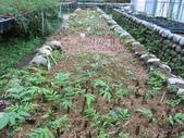 4-3  雪霸原生植物繁殖培育:104-0407  雪霸苗圃維護 (18).JPG