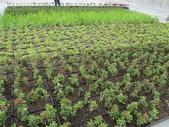 1-11  綠屋頂 -- 盆缽式綠屋頂、屋頂菜園:101-0806  盆缽式綠屋頂---台達電