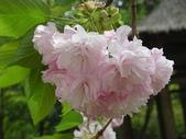 4-5  武陵的春天 --  武陵賞櫻:牡丹櫻 - 武陵 16.JPG