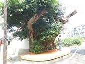 105-1102 老樹搶救--竹南萬成堂百年榕樹:105-1006  竹南萬成堂老樹 (4).jpg