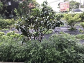 11-18 防蚊植物:芳香萬壽菊- 新豐鄉瑞興村 (4).jpg