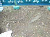 樹木基盤改善--台北列管老樹816號:105-1020 樹木基盤改善--台北列管老樹816號 (16).jpg