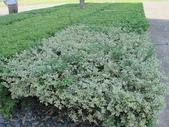 11-9 綠籬植物:銀姬小蠟  返祖現象--新竹高鐵 (5)