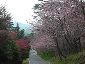4-5  武陵的春天 --  武陵賞櫻:9802-057 武陵櫻花.JPG