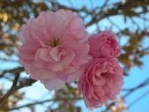 4-5  武陵的春天 --  武陵賞櫻:牡丹櫻 - 武陵 21.JPG