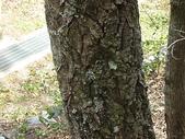 4-5  武陵的植物:栓皮櫟  DSCN1697.JPG
