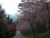 4-5  武陵的春天 --  武陵賞櫻:9802-056 武陵櫻花.JPG