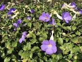 11-9   蔓藤植物: