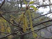 4-5  武陵的植物:栓皮櫟  DSCN1689.JPG