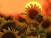 5-5  花:向日葵 101-0728-68.jpg