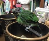 野鳥救援 -- 五色鳥野放+領角鴞 :