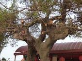大樹工程-老樹移植-台中水湳列管老樹移植:105-1005 台中列管老樹移植前斷根作業 (8).jpg