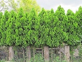 11-9 綠籬植物:扁柏綠籬 100-0714-03.jpg