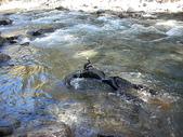 4-5  台灣櫻花鉤吻鮭  族群數量調查:DSCN9440  桃山西溪--櫻花鉤吻鮭數量調查