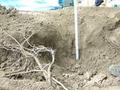 樹木基盤改善--台北列管老樹816號:105-1020 樹木基盤改善--台北列管老樹816號 (47).jpg