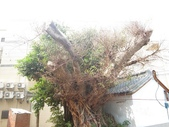 105-1102 老樹搶救--竹南萬成堂百年榕樹:105-1006  竹南萬成堂老樹 (12).jpg