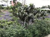 11-18 防蚊植物:芳香萬壽菊- 新豐鄉瑞興村 (8).jpg