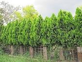 11-9 綠籬植物:扁柏綠籬 100-0714-01.jpg