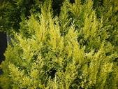 4-5  武陵的植物:香冠柏--武陵 DSCN1520.JPG