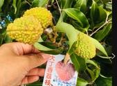 11-14  果樹 - 水果:大丁香荔枝.jpg
