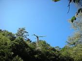 4-5  台灣櫻花鉤吻鮭  族群數量調查:DSCN9475  桃山西溪--二葉松枯木頂端的小樹苗