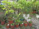 9-5  園藝技術 -- 施肥:104-0227-0  肥料試驗-八寸盆 (2).jpg