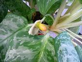 11-7  粗肋草:粗肋草的果實  991114-01.jpg