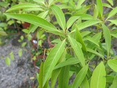 9-5  園藝技術 -- 施肥:104-0227-3  肥料試驗-八寸盆50克 (4).jpg