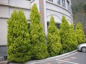 4-5  武陵的植物:香冠柏--武陵 DSCN1517.JPG