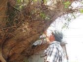 105-1102 老樹搶救--竹南萬成堂百年榕樹:105-1006  竹南萬成堂老樹 (7).jpg