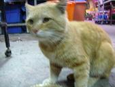 7  藍山園藝:藍山店貓--加菲貓  970129-12.JPG