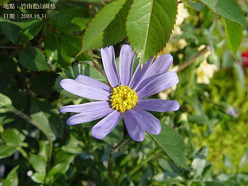 藍山園藝 -9-  賴兆芳攝影集:DSC04106   藍山園藝--賴兆芳拍攝