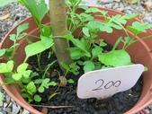 9-5  園藝技術 -- 施肥:104-0227-1  肥料試驗-八寸盆200克 (1).jpg