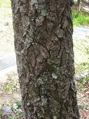 4-5  武陵的植物:栓皮櫟  DSCN1698.jpg