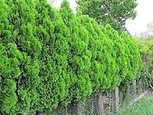 11-9 綠籬植物:扁柏綠籬 100-0714-04.jpg