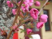 4-5  武陵的春天 --  武陵賞櫻:牡丹櫻 - 梨山 27.JPG